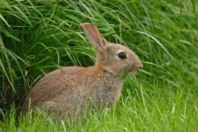 Туляремия кроликов