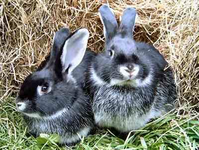 Кролики для разведения - правильный подбор пар