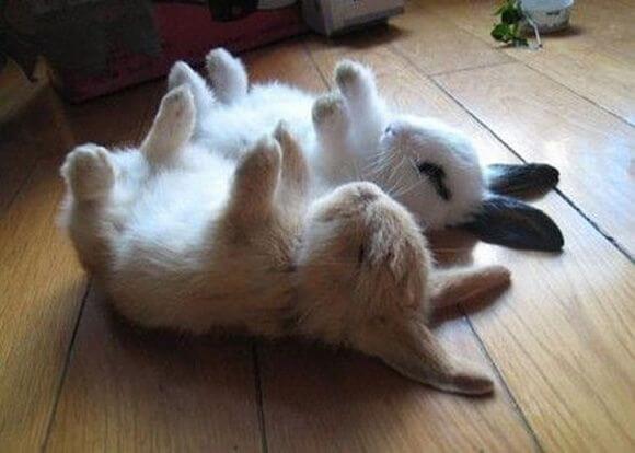 Как спят декоративные кролики