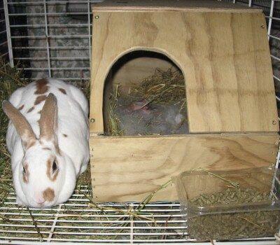 Осмотр гнезда крольчихи