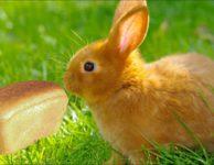 Можно ли давать декоративным кроликам хлеб