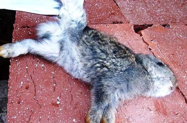 Сальмонеллез у кроликов симптомы и лечение