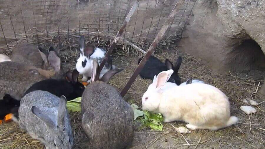 Содержание кроликов в яме плюсы и минусы