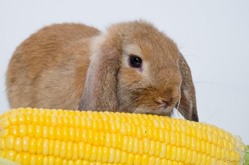 Можно ли давать декоративному кролику кукурузу