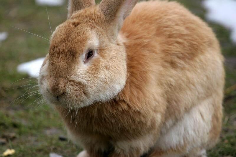 Столбняк у кроликов