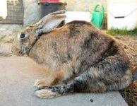Токсоплазмоз у кроликов