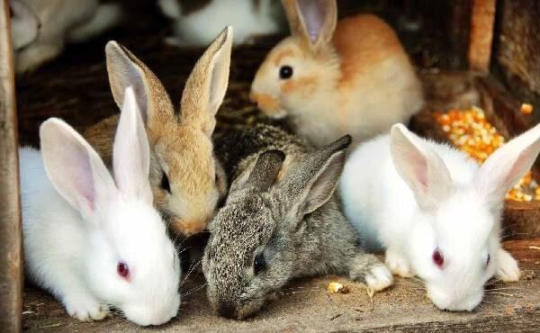 Фасциолез у кроликов