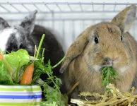 Можно ли давать кроликам пастернак