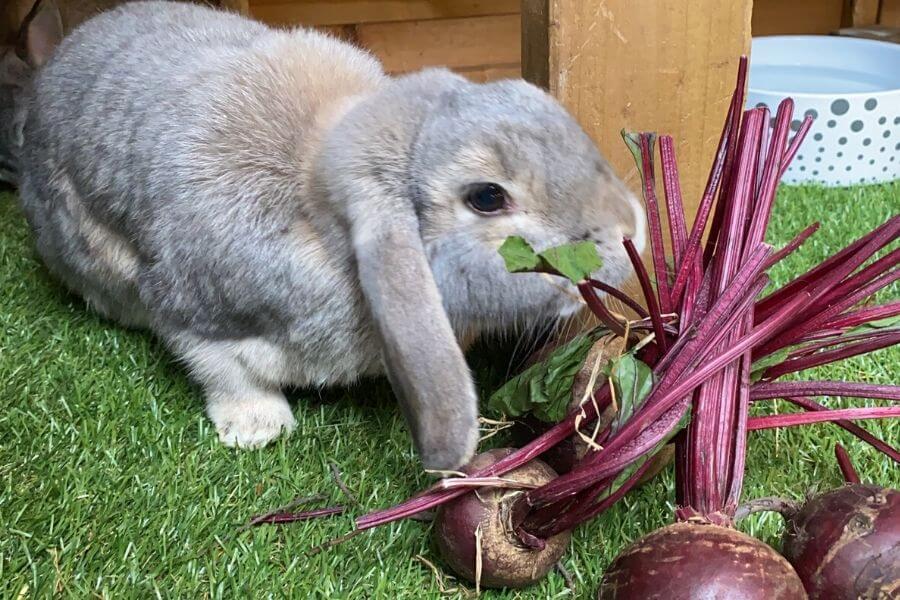 Можно ли давать кроликам свеклу?